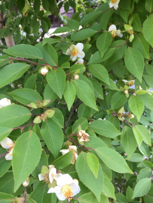 こちらは姫沙羅の木です。沙羅の花とよく似ていますが3センチほどの小さな花をたくさんつけます。