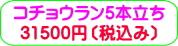 商品番号ZK-007 コチョウラン5本立ち:31500円