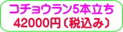 商品番号ZK-009 コチョウラン5本立ち:42000円