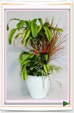 幸福の木・コンシンネ他:寄せ植え