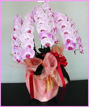 華やかで豪華な胡蝶蘭:赤リップ3本立ち