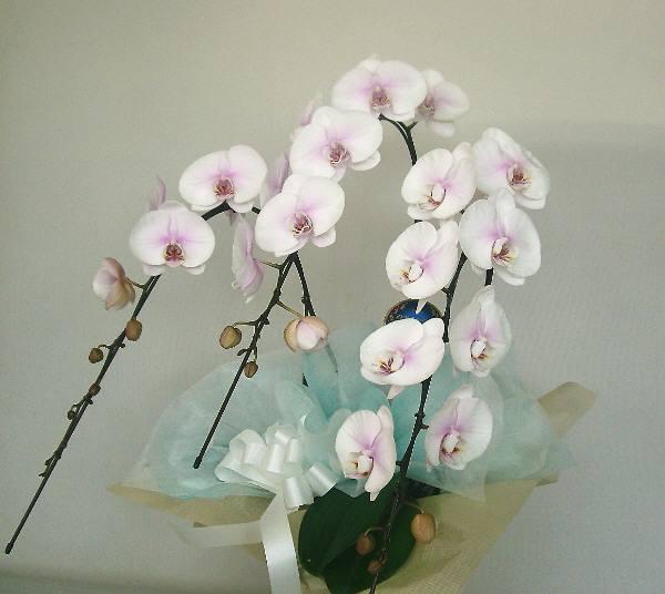 商品名:yo-0151 淡いピンク「月下美人」 法事・お葬式如何ですか:15.750円[税込]