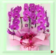 お祝いギフト用花:コチョウラン