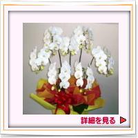 7本立ち清潔そうな豪華な胡蝶蘭。注文生産になります。