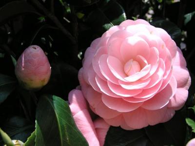 1月の花 椿(つばき)