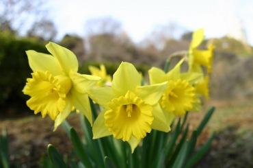 2月の花 (水仙)