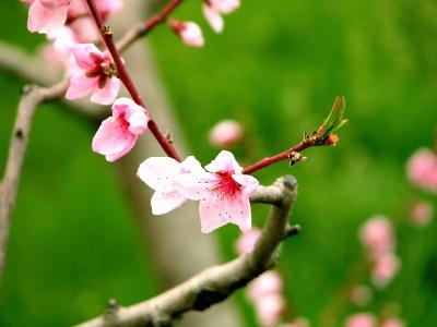 三月の花(桃)