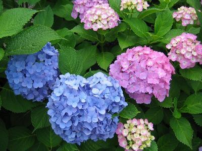 7月の花 あじさい