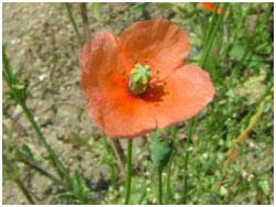 外来植物 ナガミヒナゲシの花 オレンジ色の花で繁殖力が大変強く、生態系を破壊する外来植物