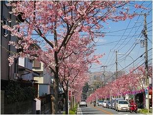 柴に住む人にとっても、自慢できるように育ちつつある神代あけぼの桜並木の写真